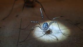 Daddy long legs arachnid female stock video