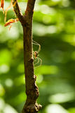 Daddy long legs climbing on branch Royalty Free Stock Images