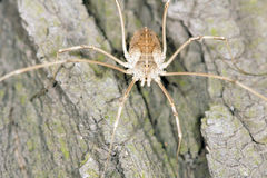 Daddy long legs Stock Photography