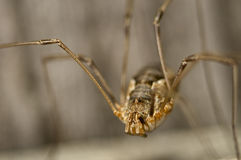 Daddy long legs closeup portrait.  Stock Photo