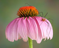 Daddy long legs on cone flower Stock Photo