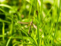 Daddy long legs crane fly Tipulidae close up Stock Photo