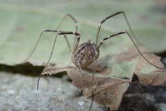 Daddy long legs on a dry leaf Stock Photography