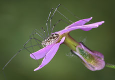 Daddy long legs on flower Stock Image