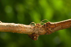 Daddy long legs hidden on tree branch Royalty Free Stock Photography