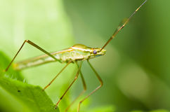 Daddy-long-legs insect green nature Royalty Free Stock Image