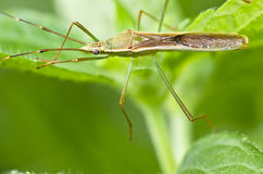 Daddy-long-legs insect green nature Royalty Free Stock Photography