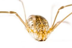 Daddy long legs isolated in white.  Royalty Free Stock Photography