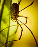 Daddy Long Legs on leaf. A Daddy Long Legs A.K.A Harvestman basking on a leaf Royalty Free Stock Images