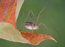 Daddy Long legs on leaf. A daddy long legs is sitting on the edge of a fall leaf Stock Photo