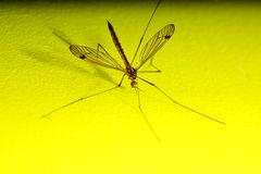 Daddy long legs, mosquito nephrotoma scalaris Royalty Free Stock Image