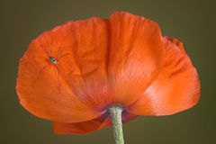 Daddy long legs on orange poppy Royalty Free Stock Photography