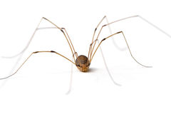 Daddy Long Legs Spider Royalty Free Stock Photography