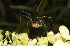 Daddy-Long-Legs spider royalty free stock photo