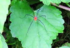 Daddy Long Legs. A Daddy Long Legs spider rests atop a grape leaf Stock Image