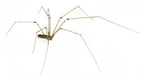Daddy long legs Royalty Free Stock Image