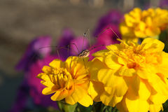 Daddy long-legs spider on a yellow marigold Stock Images