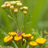 Daddy Long Legs on Tansy Flower royalty free stock image