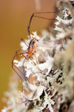 Daddy longleg, or harvestmen (opiliones). Arachnid commonly known as harvestmen on a lichen Stock Photography