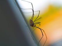 Daddy Longleg Spider Stock Image
