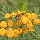 Daddy Longleg Spider on Tansy. A harvestman spider resting on the wildflower tanacetum vulgare Royalty Free Stock Photo