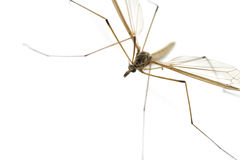 Daddy Longlegs Royalty Free Stock Images