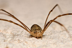 Daddy Longlegs closeup Stock Images