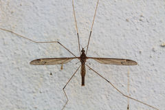 Daddy longlegs Stock Images