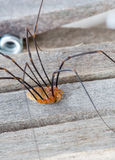 Daddy longlegs on rustic wooden peg. Extreme macro stock photography