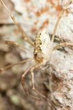 Daddy longlegs sitting on wood Stock Photography