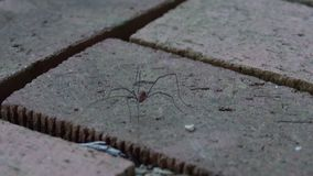 Daddy Long Legs Spider Walking on a Brick Patio