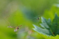 The daddy-longlegs Royalty Free Stock Image