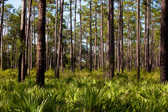 Dade Pine. This image is of pine trees on Dade Battlefield in Bushnell, FL Royalty Free Stock Photography