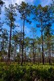 Dade Pines 2. This image is of pine trees and palmetto plants on Dade Battlefield in Bushnell, FL Royalty Free Stock Photos