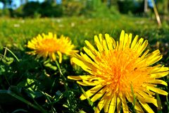Dadelion. Nice yellow dandelion on a meadow Royalty Free Stock Photos