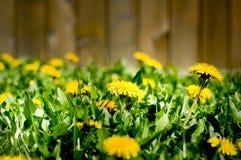 Dadelion invasion in the backyard. Nightmarish view of a dandelion invasion in a backyard Stock Photo