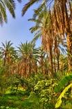 Dadelpalmen in wildernissen, Tamerza-oase, Sahara Desert, Tunesië royalty-vrije stock fotografie