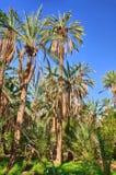 Dadelpalmen in wildernissen, Tamerza-oase, Sahara Desert, Tunesië, Af stock foto