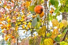 Dadelpruimboom stock afbeeldingen