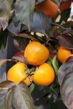 Dadelpruimboom met Rijpe oranje vruchten in de de herfsttuin royalty-vrije stock fotografie