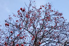 Dadelpruimboom met vruchten bij de herfst stock afbeelding