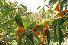 Dadelpruimen in dadelpruimboomgaard op zonnige dag Stock Afbeelding