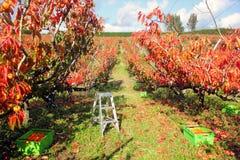 Dadelpruimenboomgaard Stock Afbeeldingen