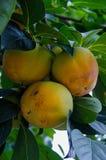 Dadelpruimfruit op een boom Royalty-vrije Stock Fotografie