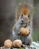 Dadi per gli scoiattoli Fotografia Stock