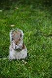 Dado di Squirrelwith in parco a Londra, Inghilterra Immagine Stock Libera da Diritti