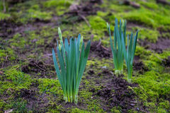 Daff Buds. Two clusters of green daffodil flower buds emerge from a mossy ground royalty free stock photo
