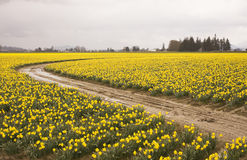 Daffodiil Farm In Bloom Stock Photos