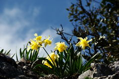 daffodil άγρια περιοχές Στοκ Εικόνα