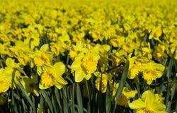 daffodil άγρια περιοχές Στοκ Φωτογραφία